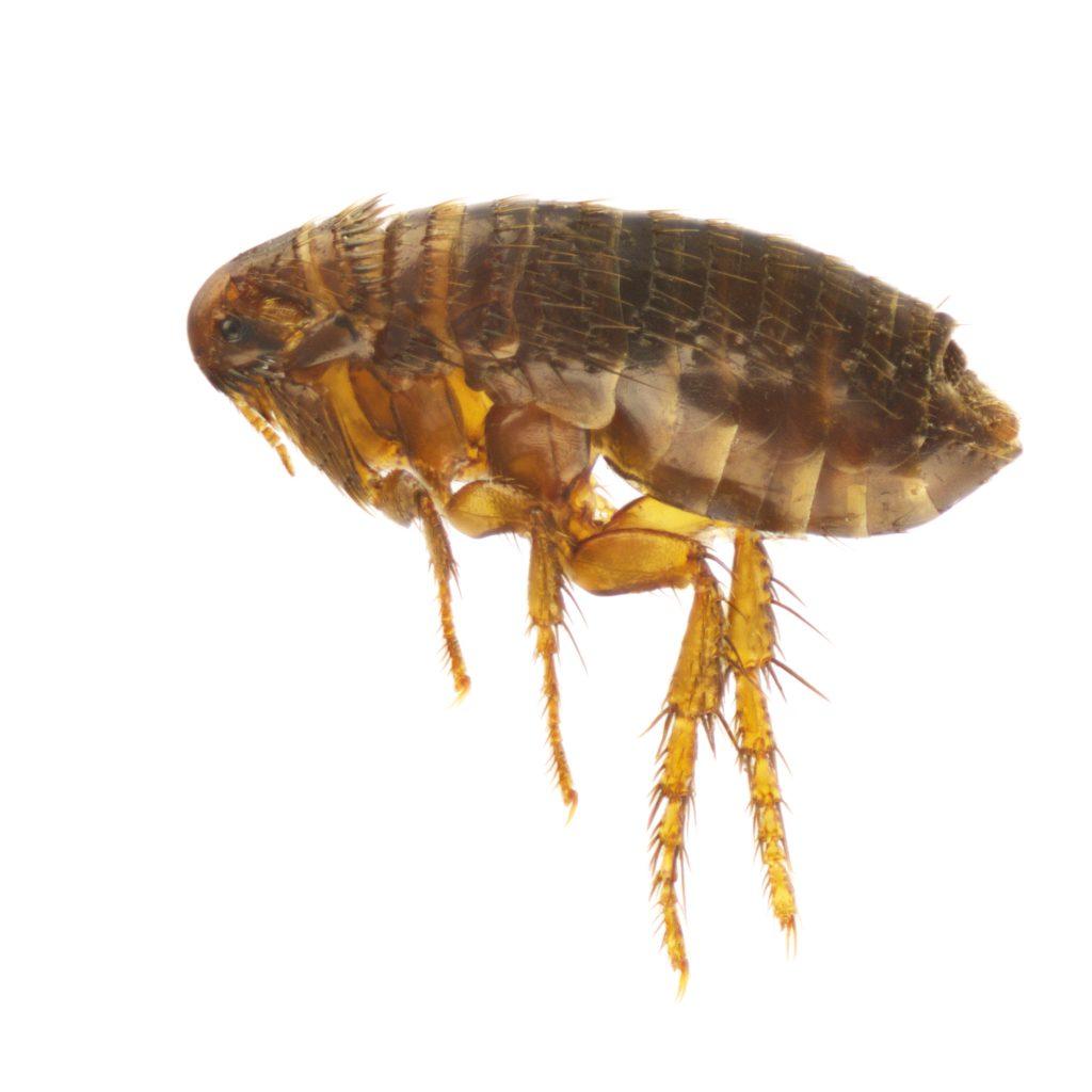 A flea up close