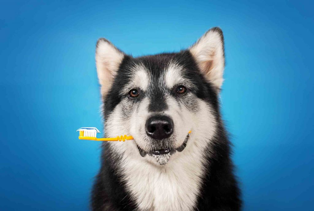 A husky holding a toothbrush