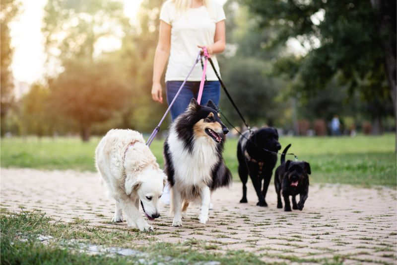 dogs walked on leashes