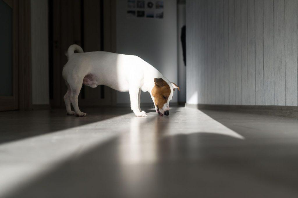 A dog licks the floor.