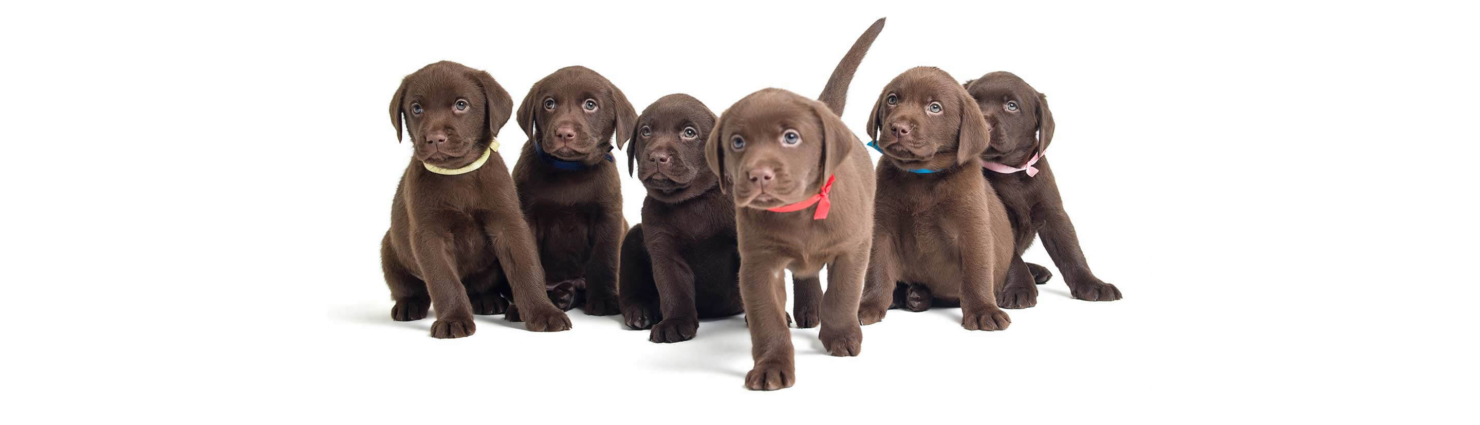 Beautiful Chocolate Lab Puppies